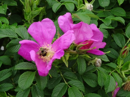 Beach roses with bee